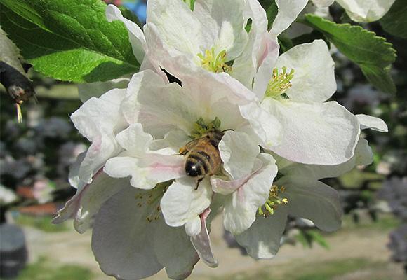 Imkerei Bienenhort Suderwich Recklinghausen – Honigbiene auf Apfelblüte