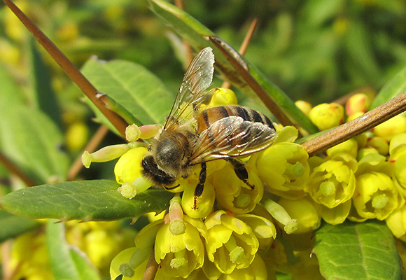 Imkerei Bienenhort Suderwich Recklinghausen – Honigbiene auf Berberitze
