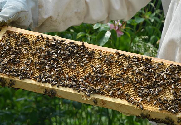 Imkerei Bienenhort Suderwich Recklinghausen – Bienen auf Honigwabe