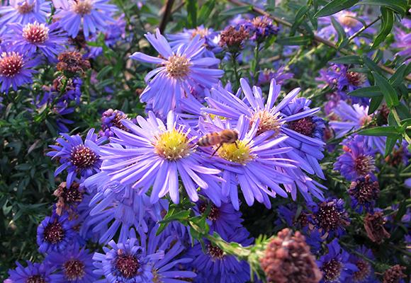 Imkerei Bienenhort Suderwich Recklinghausen – Buckfast-Biene auf Herbstaster