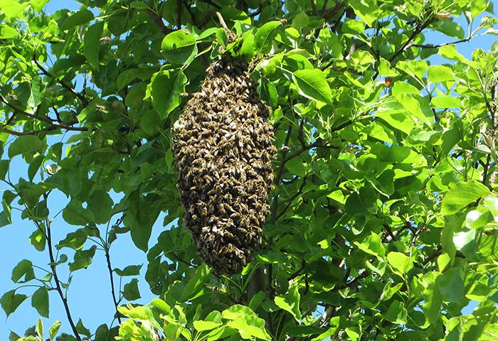 Imkerei Bienenhort Suderwich Recklinghausen – Bienenschwarm