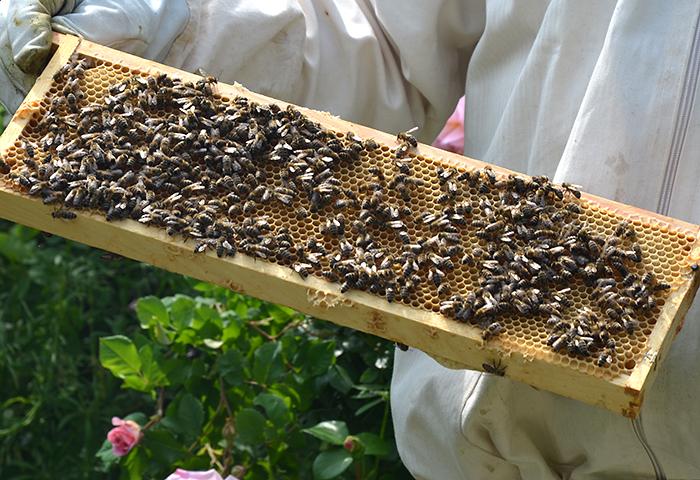 Honigwabe mit Bienen Imkerei Bienenhort Suderwich
