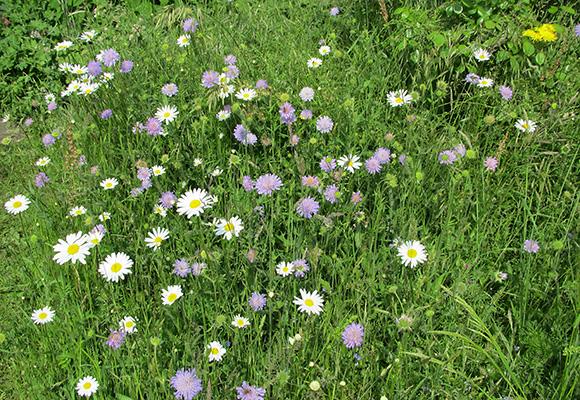 Blumenwiese der Imkerei Bienenhort Suderwich Recklinghausen
