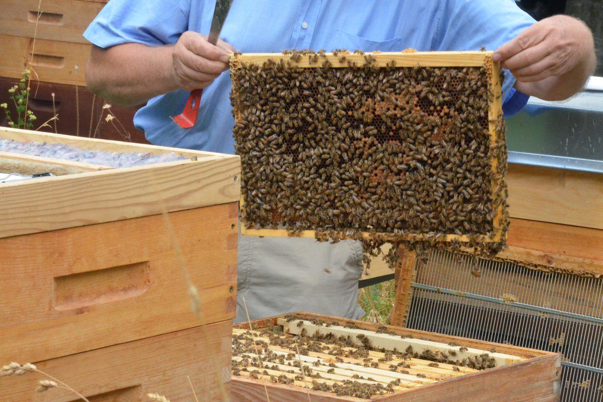 Buckfast-Bienen im Bienenhort Suderwich