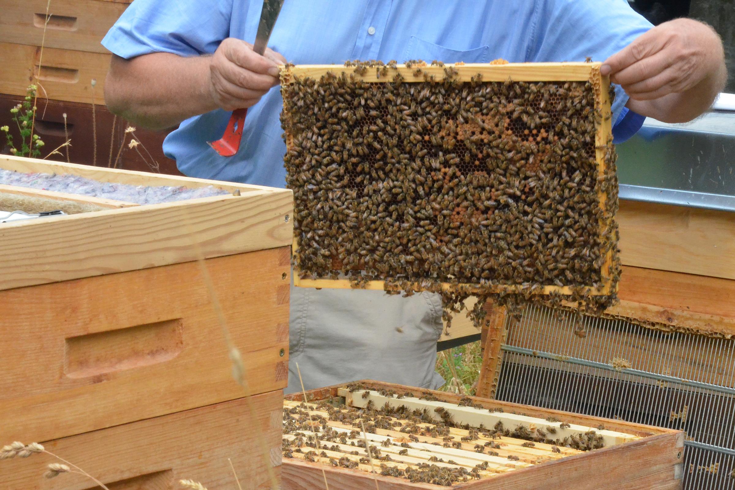 Buckfast-Bienen in der Imkerei Bienenhort Suderwich