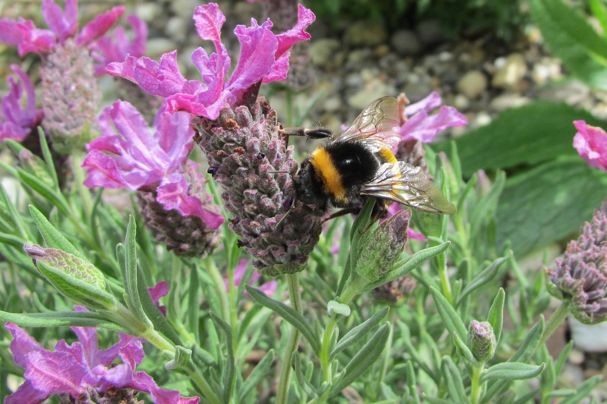 Imkerei Bienenhort Suderwich Hummel