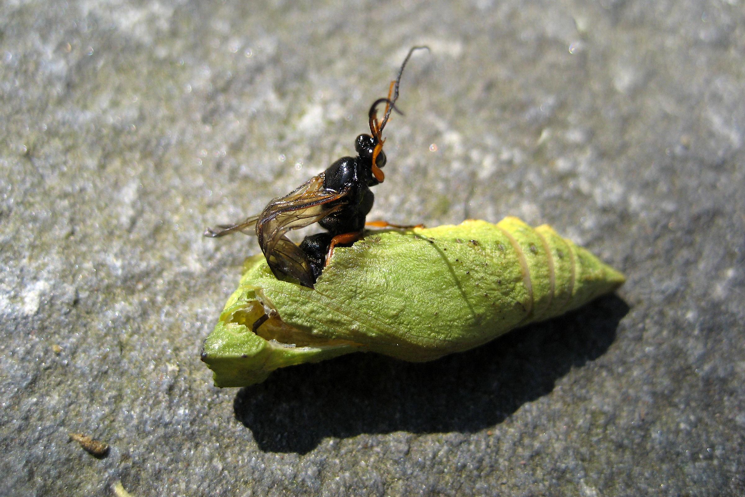 Imkerei Bienenhort Suderwich Schlupfwespe