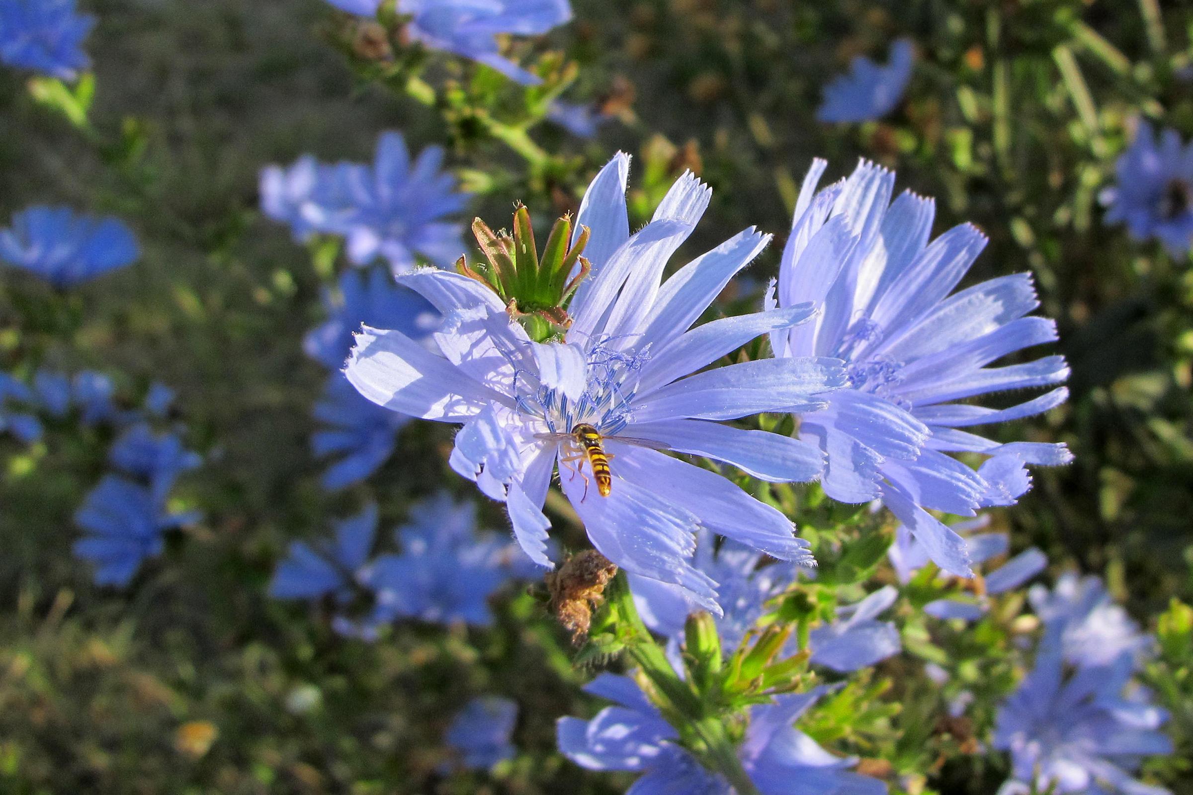 Imkerei Bienenhort Suderwich Schwebfliege