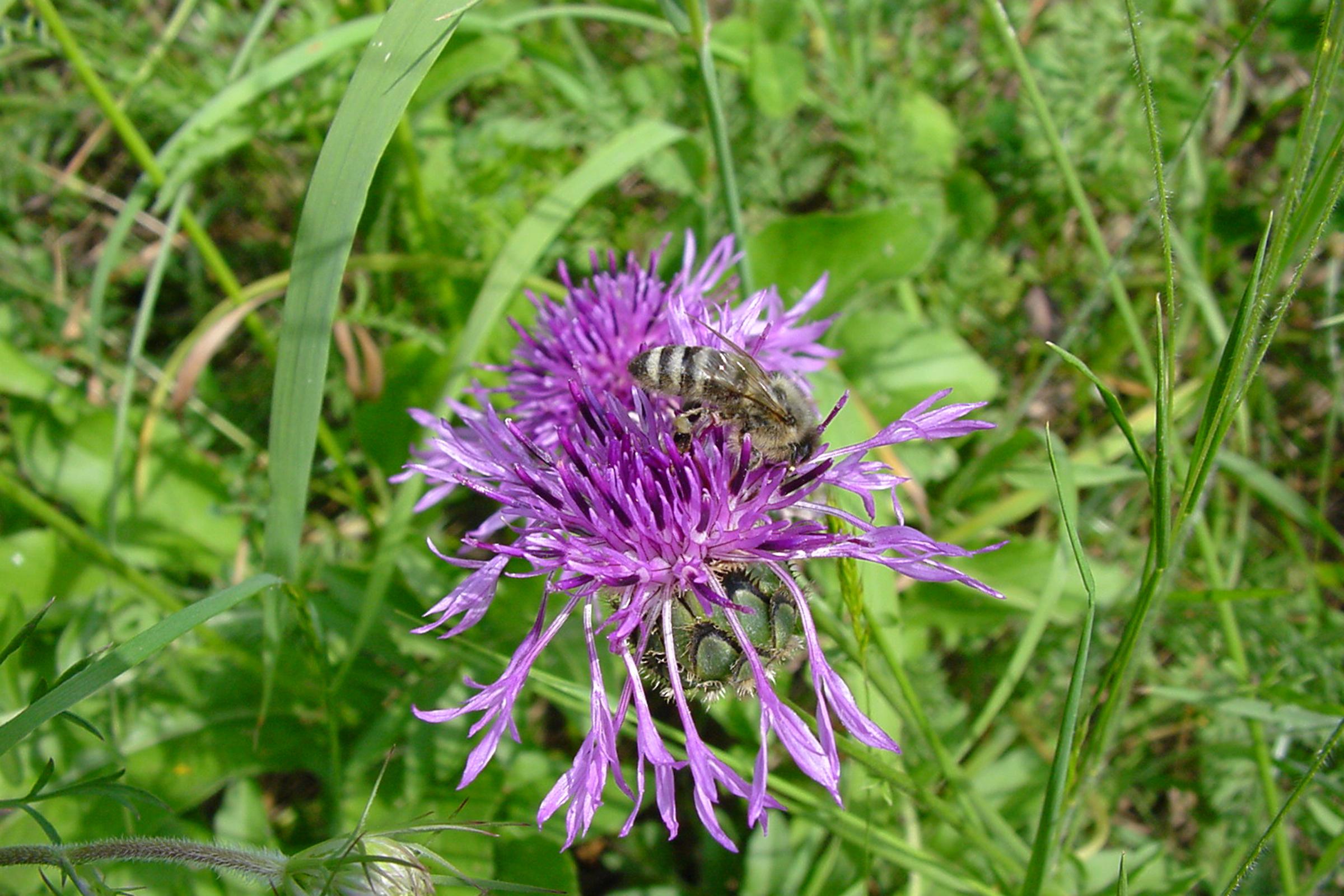 Imkerei Bienenhort Suderwich Wildbiene