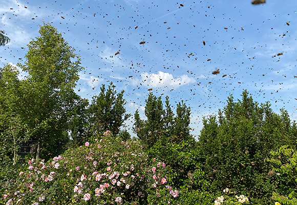 Bienenschwarm Bienenhort Suderwich Recklinghausen