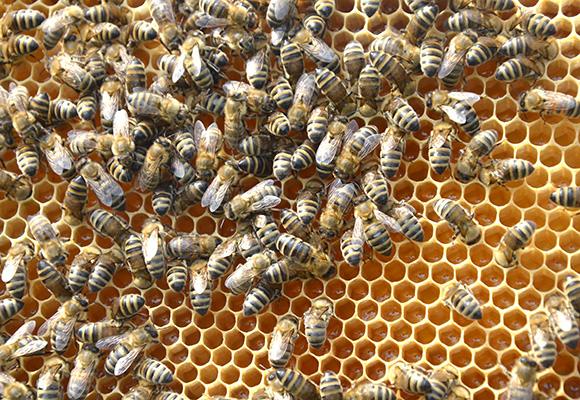 Honigwabe Bienenhort Suderwich Recklinghausen